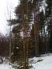 """Kultakuusi, Picea abies """"Ikola's Golden Raket"""""""