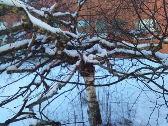 Pöytäkoivu, Betula pendula f. tabulaeformis