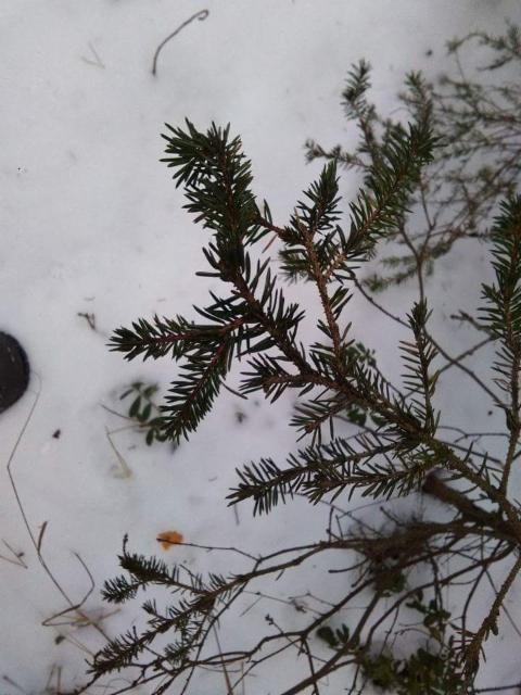 Tummaneulas kuusi, Picea abies dark needles form