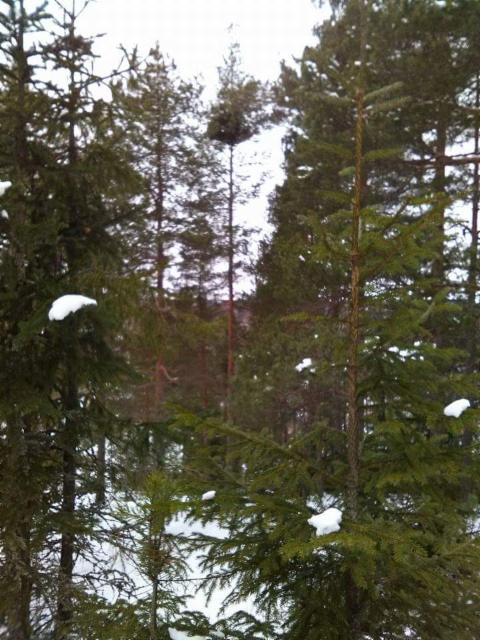Pallomänty, Pinus sylvestris f. globosa, Lahti
