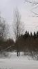 Pilariraita, Salix caprea f. fastigiata