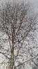 Riepukoivu, Betula pubescens f. hibernifolia