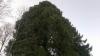 Kynttelikkökuusen kaltainen keilakuusi Picea abies f. pyramidata