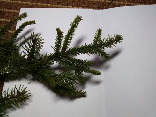 """Lyhytneulas ja normaalin kuusen välimuoto, Picea abies """"Ikola's Mystery Needles"""""""