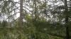Kirjokuusi, Picea abies f. variegata