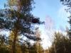 Männyn tuulenpesä, Pinus sylvestris f. globosa, Lapinjärvi