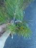 Kierreoksainen männyn oksamutaatio, Pinus sylvestris twisted form
