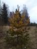 Talvikultamänty, Lapinjärvi. Pinus sylvestris wintergold form