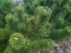 Lyhytneulas vuorimänty, Pinus mugo, Lapinjärvi