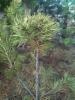 Nuoren männyn nuori tuulenpesä, Lapinjärvi, Pinus sylvestris f. globosa