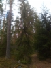 Surukuusi, Picea abies f. pendula, Lapinjärvi