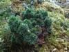 Kuusen tuulenpesä, Picea abies f. globosa, Ämmälä, Lahti