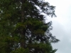 Siperianpihdan tuulenpesä, Abies sibirica wb