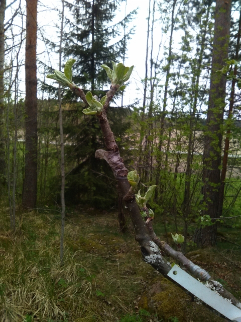 Pilariomenapuu, Malus 'Dzin'