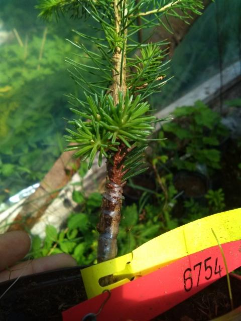 Mäntsälän pallokuusi, Picea abies f. globosa