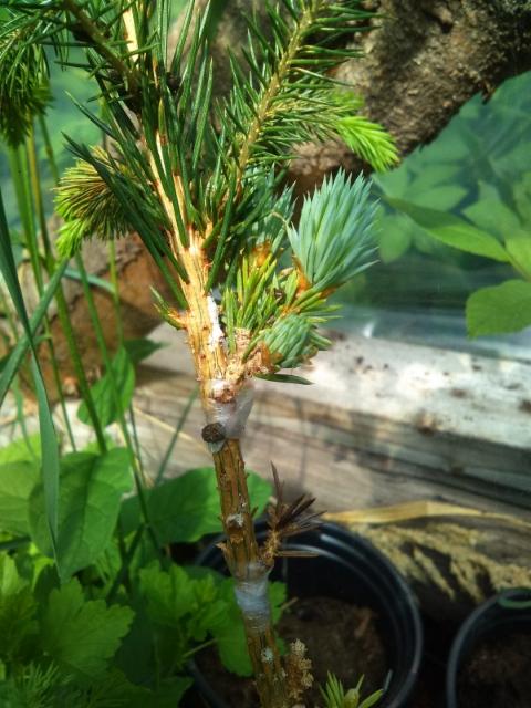 Kääpiöhopeapallokuusi, Picea pungens 'Pali'