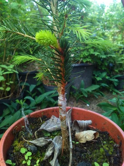 Kääpiökuusi Picea abies 'Remontii'