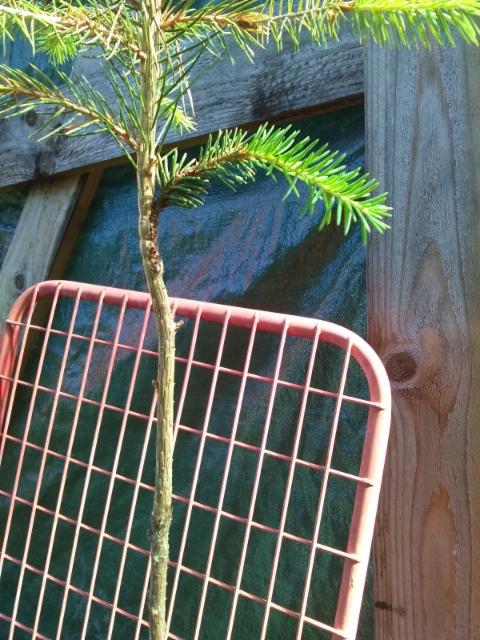 Käärmekuusi, Picea abies 'Sepän Käärme'