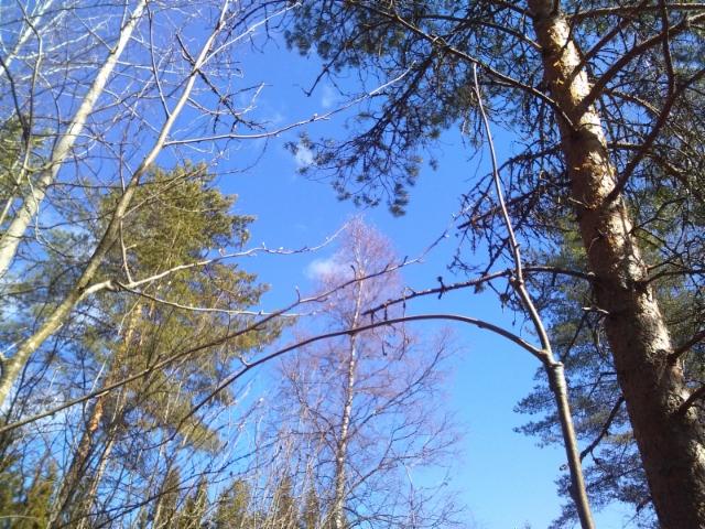 Riippapihlaja jalonne, Sorbus aucuparia 'Pendula'