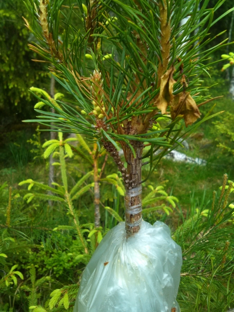 """Kultamänty jalonne, Pinus sylvestris """"Juhani"""""""