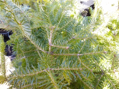 Abies_lasiocarpa&width=400&height=500