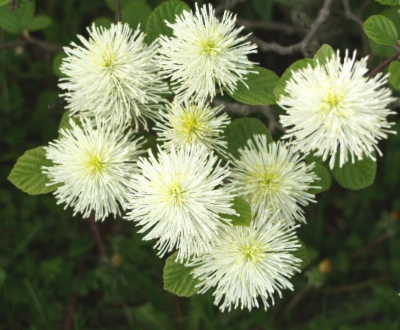 Fothergilla&width=400&height=500
