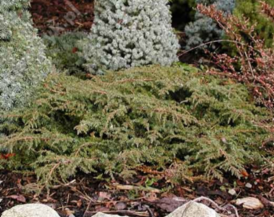 Juniperus_communis_Green_Carpet_&width=400&height=500