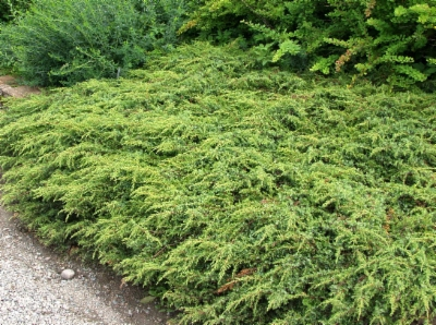 Juniperus_communis_Repanda&width=400&height=500