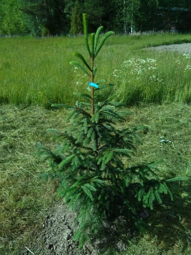 Picea_abies_Frahm&width=400&height=500