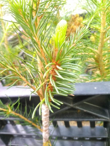 Picea_abies_Jegors_Weeping_Snake&width=400&height=500