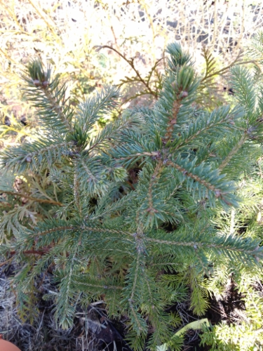 Picea_glauca&width=400&height=500