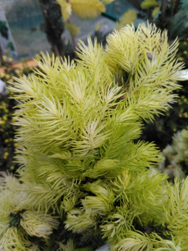 Picea_glauca_Daisys_White&width=400&height=500