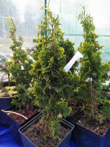 Thuja_occidentalis_Degroots_Spire&width=400&height=500