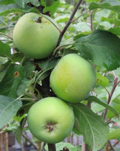 malus_domestica_medoc.jpg&width=400&height=500