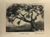 Yksinäinen oliivipuu