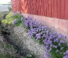 ruohosipulia navetan seinustalla