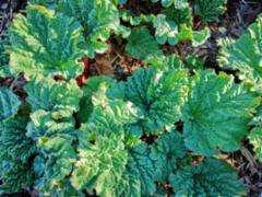 Raparperin keväistä vihreyttä