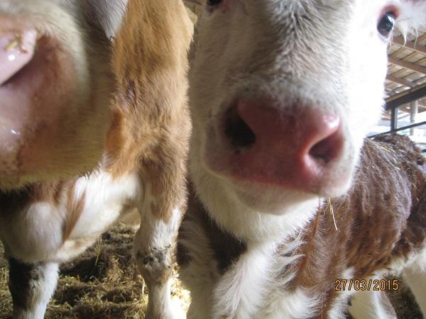 Äppel -lehmä (jää meille)