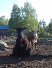 istuva_lehma