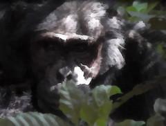 Simpanssi tuumailee