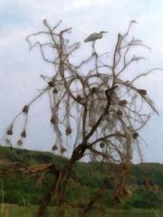 Vieraassa pesäpuussa