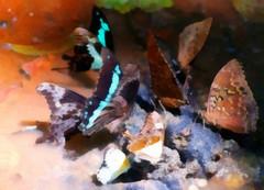 Perhosia nauttimassa