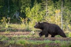 Karhu saapuu suolle