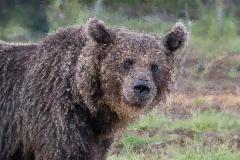 Karhu katsoo