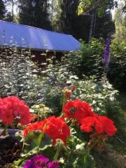 Kesän 2018 hellepäivien kukkaloistoa maalla
