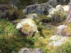 Mökkitien metsää jäkälälajikkeineen