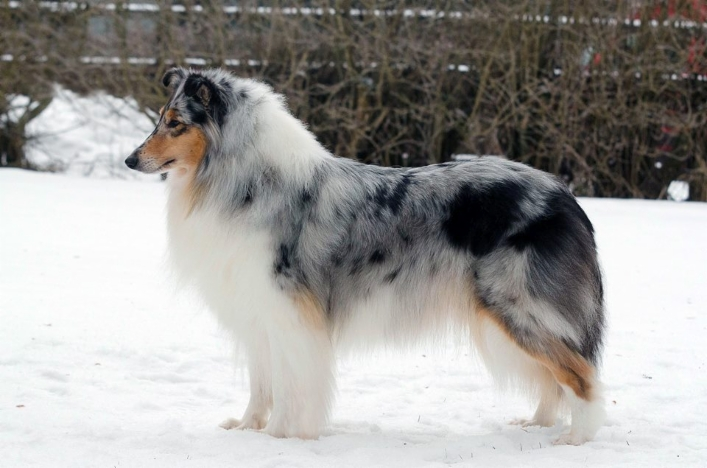 Pitkäkarvainen collie, Merry Moonray's Charming Ariel