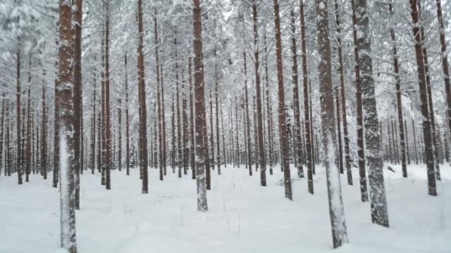 metsaa_talvella