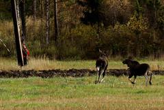 041_hirviemo_ja_vasa_15.10.2005