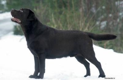 Labradorinnoutajan Pentuja